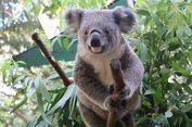Kendalikan Populasi, Australia Selatan Pasang KB Implan untuk Koala