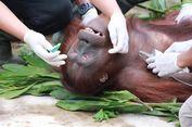Polri Akan Kejar Pelaku dan Perusahaan Pembunuh Orangutan di Kalteng