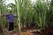 APTRI: Petani Tebu di 'Jurang Kematian'