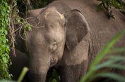 Menguak Kisah Kedatangan Gajah Kerdil Borneo di Tanah Kalimantan