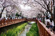 Tempat Terbaik Melihat Bunga Sakura di Korea