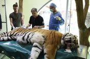 Sakit Panggul, Igor Si Harimau Siberia Jalani Perawatan Sel Punca