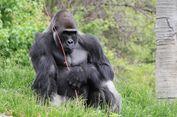 Seperti Manusia, Gorilla Gunung Rwanda Jantan Juga Merawat Anak