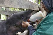 Mengintip Perawatan Bayi Gajah yang Kakinya Hampir Putus di Pidie...