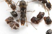 Bak Film Horor, Semut Ini Hiasi Sarang dengan Tengkorak Musuhnya