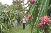Inalum Ajak Petani Sumatera Utara Budidayakan Buah Naga