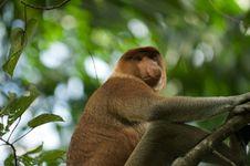 Monyet Betina Lebih Tertarik Pejantan Berhidung Besar