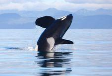Lama Masuk Daftar Pencarian, Orca Paling Misterius Akhirnya Ditemukan