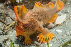 Populasi Baru Ikan Terlangka Ditemukan, Kini Jumlahnya Capai 80
