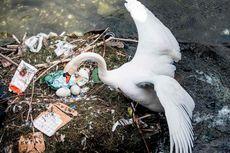 Rumahnya Tercemar, Angsa Ini Terpaksa Bangun Sarang dari Plastik
