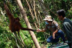Dua Ekor Orangutan