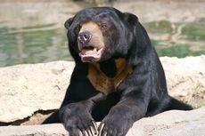 Kisah Penyelamatan Beruang Madu dari Jeratan di Kebun Warga