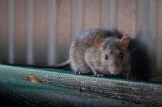 Kiat Praktis Jaga Rumah dari Serangan Tikus