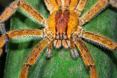 Peneliti Brasil: Racun Laba-laba Pisang Lebih Efektif Dibanding Viagra