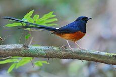 Murai Batu, Burung Penyanyi Paling Populer di Asia Terancam Punah