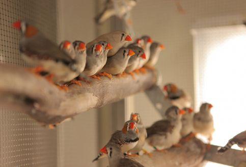 Seperti Manusia, Songbird Usaha Keras Agar Dipercaya Jadi Teman Hidup