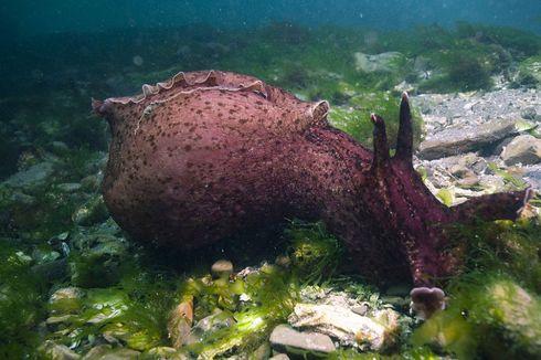 Kali Pertama, Ilmuwan Lakukan Transplantasi Memori pada Siput Laut