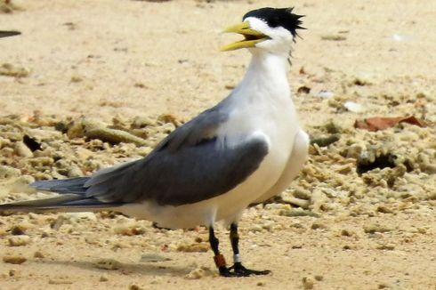 Burung Dara Cina Terpantau Bermigrasi ke Pulau Seram