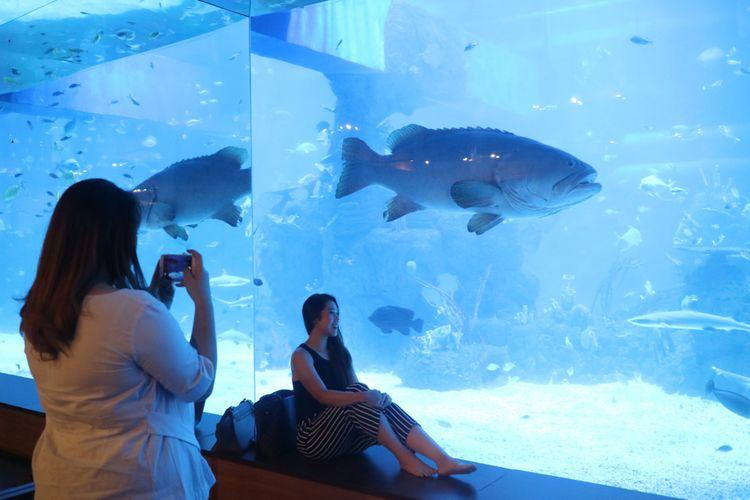 Wisatawan berfoto dengan latar Giant Grouper atau kerapu raksasa di Jakarta Aquarium.