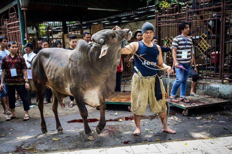 Pekerja menarik sapi untuk disembelih di Masjid Agung Sunda Kelapa, Jakarta Pusat, Jumat (1/9/2017). Tahun ini masjid Agung Sunda Kelapa menerima 10 ekor sapi dan 52 ekor kambing untuk dikurbankan.
