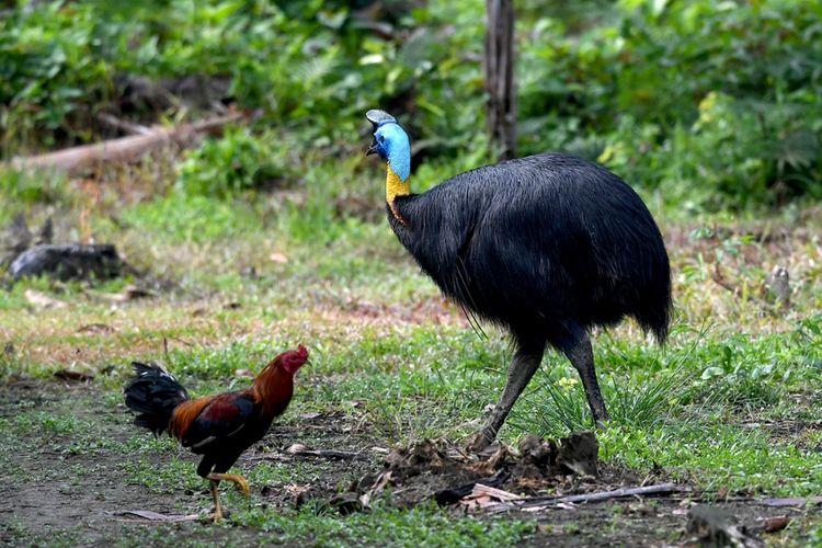 Seekor burung kasuari terlihat di Desa Malagufuk, Sorong, Papua, Rabu (23/8/2017). Papua adalah rumah bagi sepertiga hutan hujan yang tersisa di Indonesia, namun perburuan dan penggundulan hutan yang merajalela telah menghancurkan populasi burung di banyak hutan di Papua.
