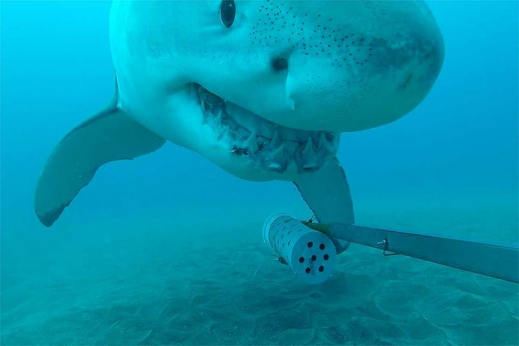 Hiu putih mengambil BRUV, kamera penelitian