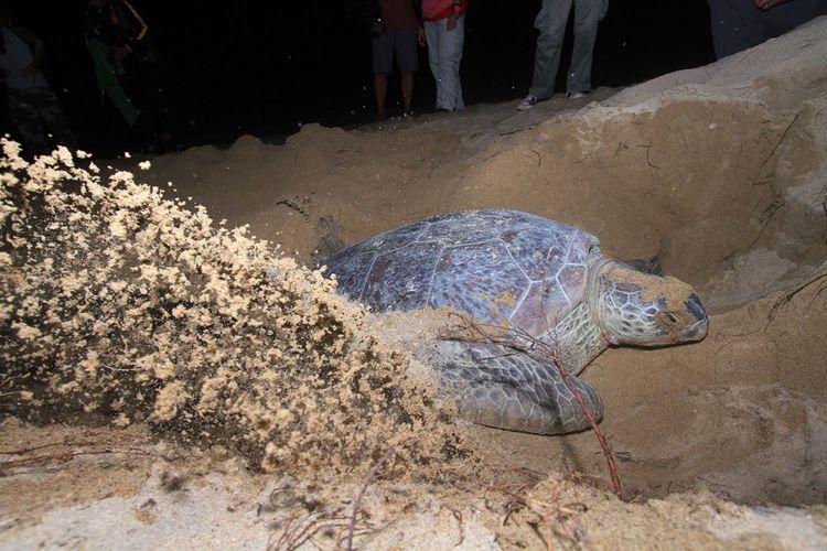 Penyu merupakan atraksi utama di pesisir pantai pada malam hari