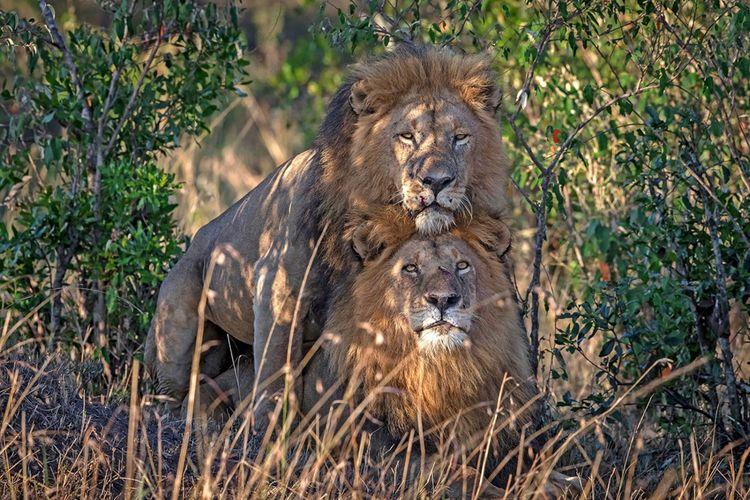 Seorang fotografer satwa liar menangkap gambar menakjubkan dari dua singa jantan di Kenya