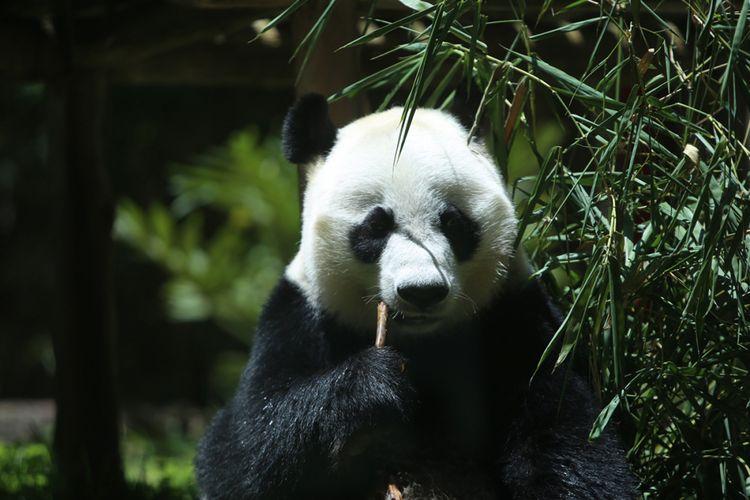 Seekor panda (Ailuropada melanoleuca) asal China diperlihatkan seusai proses karantina di Istana Panda Indonesia, Taman Safari Indonesia Bogor, Jawa Barat, Rabu (1/11/2017). Sepasang panda, Cai Tao (jantan) dan Hu Chun (betina) yang berasal dari pengembangbiakan di China Wildlife Conservation Association (CWCA) akan diperkenalkan untuk publik pada November 2017 ini.