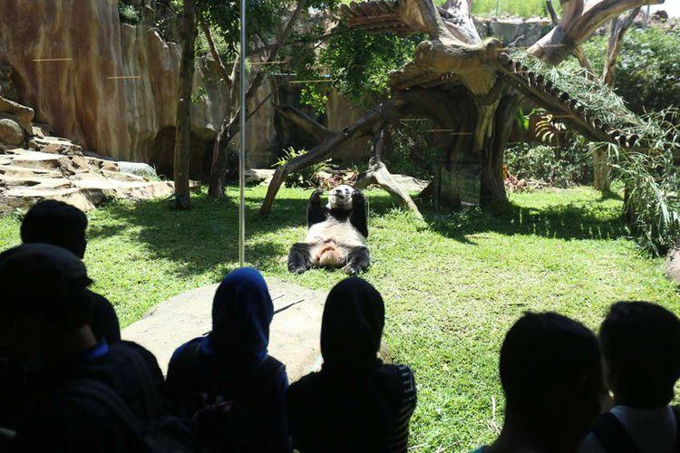 Sejumlah pengunjung menyaksikan seekor panda (Ailuropada melanoleuca) asal China yang diperlihatkan seusai proses karantina di Istana Panda Indonesia, Taman Safari Indonesia Bogor, Jawa Barat, Rabu (1/11/2017). Sepasang panda, Cai Tao (jantan) dan Hu Chun (betina) yang berasal dari pengembangbiakan di China Wildlife Conservation Association (CWCA) akan diperkenalkan untuk publik pada November 2017 ini