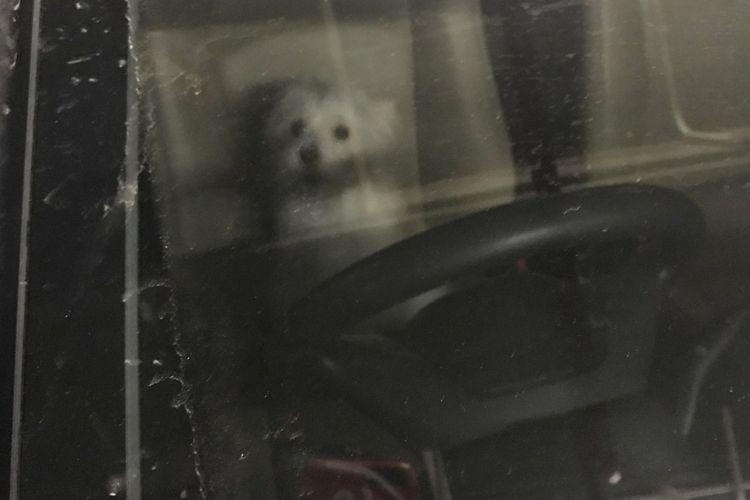 Seekor anjing yang ditinggal pemiliknya di dalam mobil yang terparkir di Grand Indonesia selama delapan jam, Jumat (1/12/2017).