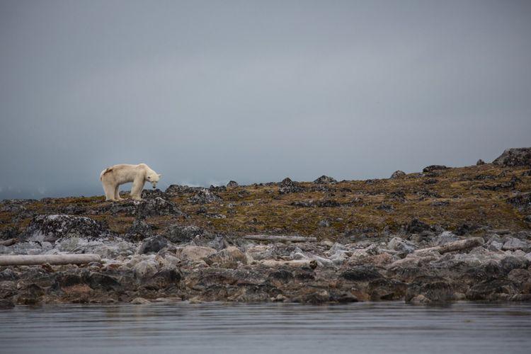Spitsbergen, Svalbard, polar bear. (Photo by Prisma Bildagentur/UIG via Getty Images)