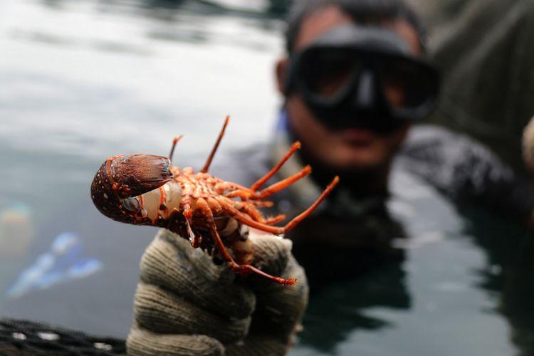 Fajar, sedang menangkap lobter hasil budidaya di karamba miliknya yang berada di kawasan pantai  Ulele, Banda Aceh, Jumat (26/1/2018). Lobster jenis mutiara, batu, dan bambu ini dijual ke sejumlah rumah makan dan restoran, baik yang ada di Aceh maupun di luar daerah dengan harga sekitar Rp 400.000 per kilogram.