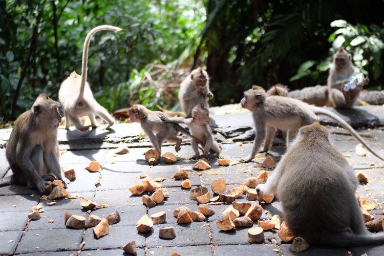 Monyet bali ekor panjang di Monkey Forest, Ubud.