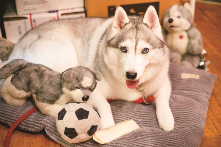 Siberian Husky yang memiliki bola mata berwarna biru memikat bernama Shiro-chan di Grava Hawaii.