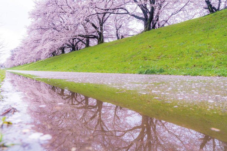sakura di Yodogawa Riverside Park Sewaritei