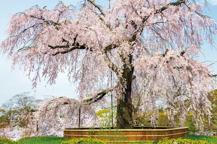 Di Maruyama Park, kita bisa melihat pohon shidare-zakura yang terkenal sebagai Gion no Yozakura yang berarti: pemandangan sakura malam hari di Gion.
