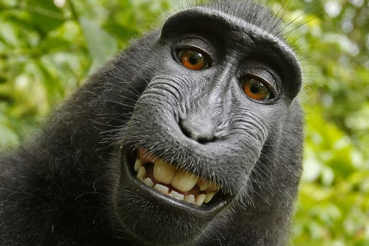 Salah satu foto selfie monyet makaka bernama Naruto yang menjadi pangkal persoalan hukum David Slater.