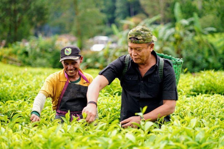 Calon gubernur Jawa Barat nomor urut 2 Tubagus Hasanuddin ikut memetik teh bersama ratusan buruh pemetik teh di Desa Patengan, Kabupaten Bandung, Jawa Barat, Rabu (25/4/2018).