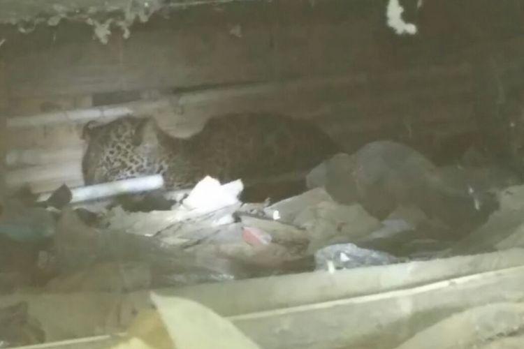 Macan tutul di bawah rumah panggung di Desa Perbawati, Sukabumi, Jawa Barat, Kamis (17/5/2018).