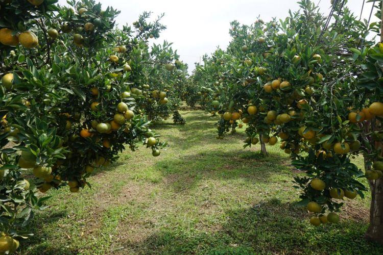 Kebun Percobaan Kliran di Batu, Jawa Timur menggunakan teknologi Bujangseta dalam pembudidayaan jeruk.