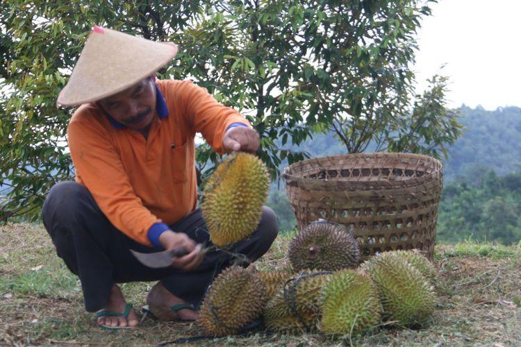 Petani memetik durian di Desa Banjaroya.
