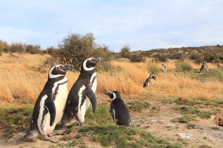 Ribuan penguin betina terdampar ratusan mil dari tempatnya berkembang biak setiap tahunnya. Para ahli terus mencari tahu penyebab dan cara mengatasinya.