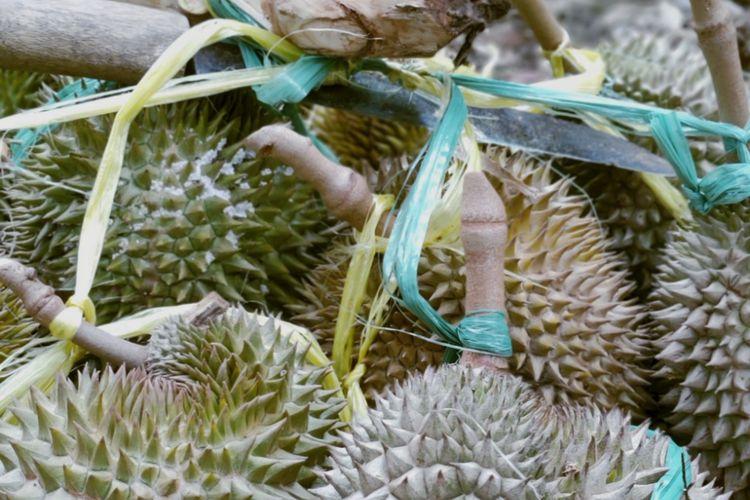 Durian Rumpin yang dipetik di perbukitan dekat Gunung Suling, Rumpin, Bogor, Jawa Barat.