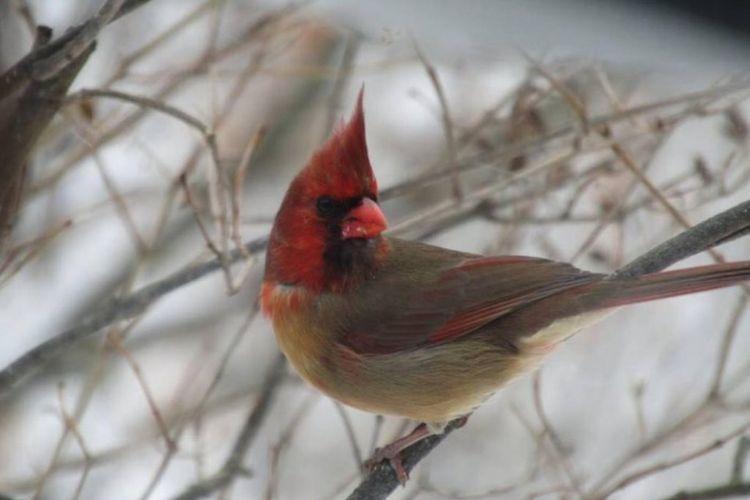 Burung kardinal berkelamin ganda, setengah jantan dan setengah betina. Hal ini terlihat jelas dari perpaduan warna bulunya.