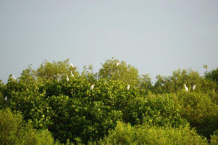 Burung air yang hinggap di hutan mangrove yang ada di Dusun Pesisir Desa Klatakan Situbondo