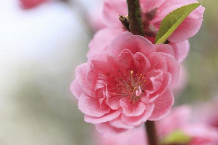 Bunga persik