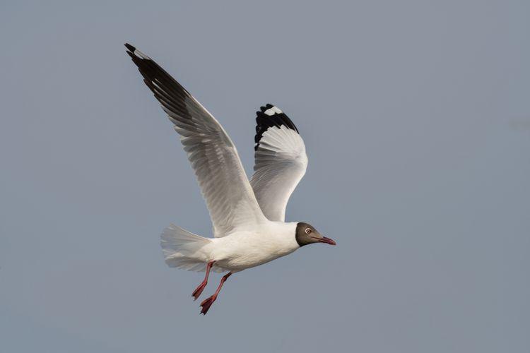 Ilustrasi burung camar