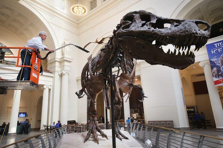 Ahli geologi Bill Simpson membersihkan Sue, Tyrannosaurus Rex yang berusia 67 juta tahun yang dipajang di Field Museum pada 12 November 2013 di Chicago, Illinois.