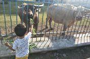 Mudik ke Solo, Kunjungi Kebo Bule Tertua di Keraton Surakarta